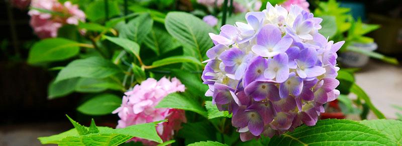 hortensia violet grimpant
