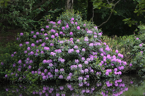 massif rhododendron violet
