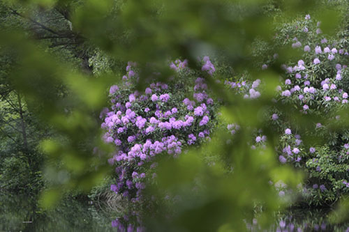 rhododendron photographe