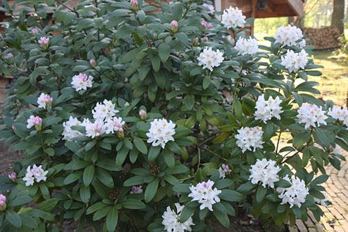 rhododendron blanc feuille verte