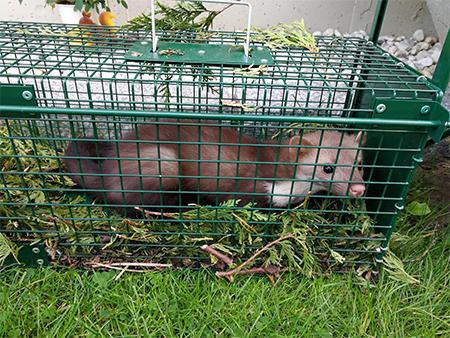 fouine capturée dans une cage verte
