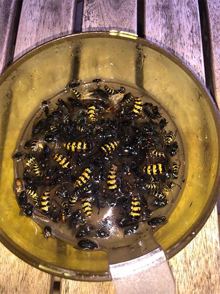 insectes et guêpes au fond du piège